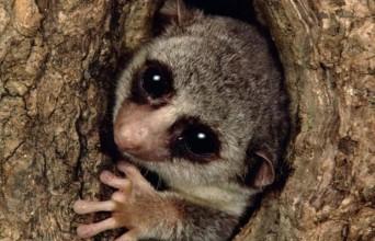 Manusia Harus Belajar pada Lemur Madagaskar